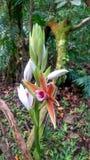 Bagno orchidea Zdjęcie Stock
