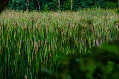 Bagno trawy i kotów ogony z Zamazanym ulistnieniem w przedpolu Zdjęcie Royalty Free