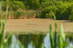 Bagno trawy seagull ptak Fotografia Royalty Free