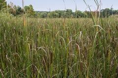 Bagno trzcin roślina Zdjęcie Stock