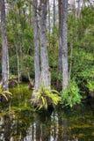 Bagno w Dużej Cyprysowej Krajowej prezerwie, Floryda, Stany Zjednoczone obraz royalty free