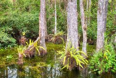 Bagno w Du?ej Cyprysowej Krajowej prezerwie, Floryda, Stany Zjednoczone zdjęcia stock