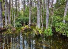 Bagno w Du?ej Cyprysowej Krajowej prezerwie, Floryda, Stany Zjednoczone obrazy stock