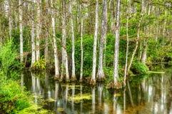 Bagno w Du?ej Cyprysowej Krajowej prezerwie, Floryda, Stany Zjednoczone zdjęcie royalty free