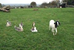 Bagot山羊和中国鹅在农田里 免版税库存照片