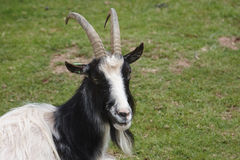 Bagot goat Royalty Free Stock Images