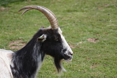 Bagot goat Stock Photo