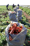 Bags of carrots in field. Sack with carrots in the foreground Stock Images