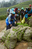 Bags of collected fresh tea leaves, Sri Lanka Stock Photography