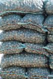 Bags of harvested black walnuts in Missouri Stock Image