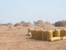 Bags of rice during harvest Royalty Free Stock Images