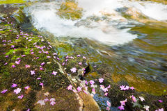 Bagulnik fallen flowers on stream Smolny Stock Photos