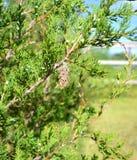 Bagworm auf Ostred-cedar Stockfoto