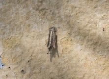 Bagworm do casta da psique em uma parede Fotos de Stock Royalty Free