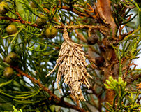 Bagworm em uma árvore de pinho imagens de stock