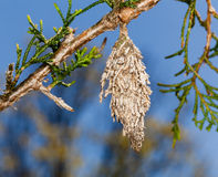 Bagworm on pine fir tree branch Royalty Free Stock Image