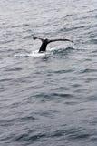 Bahía California de Monterey de las platijas de la ballena jorobada Imagenes de archivo