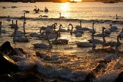 Bahía del cisne Foto de archivo libre de regalías