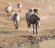 Bahía del hígado de la castaña melada en el agujero de agua con la manada de caballos salvajes en el waterhole en gama del caball Fotografía de archivo libre de regalías