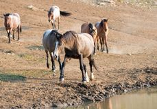 Bahía del hígado de la castaña melada en el agujero de agua con la manada de caballos salvajes en el waterhole en la gama del cab Imagen de archivo libre de regalías