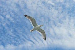 Bahía más baja de Nueva York de la gaviota que vuela blanca Fotos de archivo
