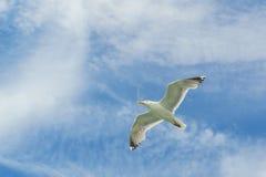 Bahía más baja de Nueva York de la gaviota que vuela blanca Imágenes de archivo libres de regalías