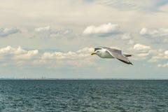 Bahía más baja de Nueva York de la gaviota que vuela blanca Foto de archivo libre de regalías