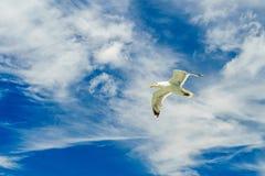 Bahía más baja de Nueva York de la gaviota que vuela blanca Imagen de archivo libre de regalías