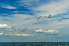 Bahía más baja de Nueva York de la gaviota que vuela blanca Fotos de archivo libres de regalías