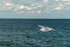 Bahía más baja de Nueva York de la gaviota que vuela blanca Fotografía de archivo