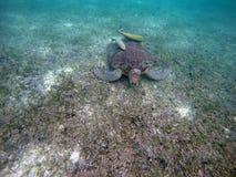 Bahía mexicana 14 de Acumal de la natación subacuática de la tortuga de mar imagen de archivo