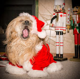 Bah Humbug, Christmas Bores Me. A dog expressing his boredom with Christmas by yawning Stock Photos