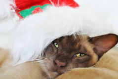 Bah Humbug! Grumpy cat wearing Santa Claus hat. A cute Christmas portrait of a purebred Burmese breed cat with a very cranky expression on his face wearing a red Royalty Free Stock Photos