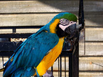 Baham's Macaw. This colorful bird lives at a famous diving center in Nassau Bahamas Stock Photo