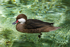 bahama меньший pintail Стоковые Фото