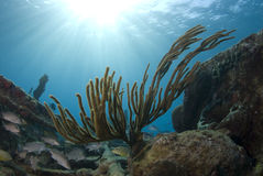 Bahama Coral Sunburst. A coral reef seascape with fish seeking shelter under the burst of rays from the sun above the surface, with the calm waves seen in the royalty free stock images