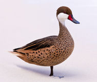 Bahama duck on sandy beach Royalty Free Stock Photography