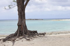 Bahama Island. Old tree roots growing out of the beach in the Bahamas Stock Photography