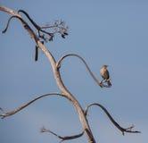 Bahama Mockingbird and bizarre tree. A Bahama Mockingbird (Mimus gundlachii) perches on a tree with bizarre branches in the island of Cuba Royalty Free Stock Photography