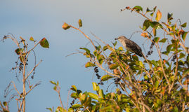 Bahama Mockingbird eating fruits Stock Images