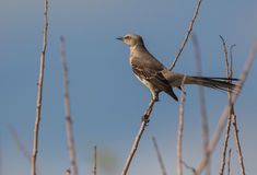 The Bahama Mockingbird. (Mimus gundlachii) is also found in the island of Cuba, it is very able to imitate other bird's songs Royalty Free Stock Image
