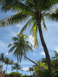 Bahama-Palmen Stockfotografie