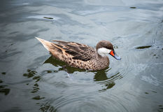 Bahama pintail or summer duck floats on water Royalty Free Stock Photography