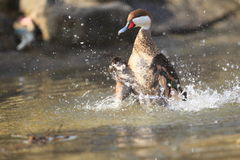 Bahama pintail Royalty Free Stock Images