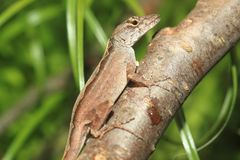 Bahaman anole. On the branch royalty free stock image