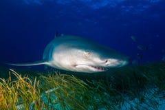 Bahamas do tubarão de limão Imagens de Stock