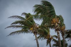 Bahamas Hurricane. Hurricane winds, bending palms, blowing palm fronds, coconut palms, coconuts on trees, dangerous winds, hurricane warning, tropical storm Royalty Free Stock Photography