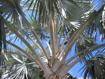 Bahamas Palm Tree Leaves. Color stock images