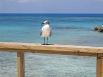 Bahamas Sea Gull Royalty Free Stock Photo