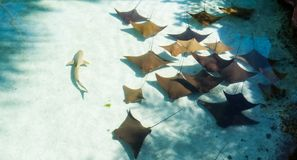 The Bahamas: Sting rays and a small shark. Beautiful sunny day for a lot of sting rays and a small shark swimming in the warm water of the Bahamas stock images